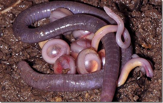 anfibios sem patas thumb Nova espécie de anfíbio sem patas é encontrada