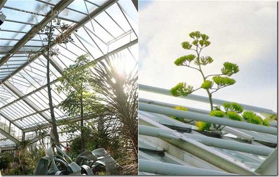 agave-franzosinii