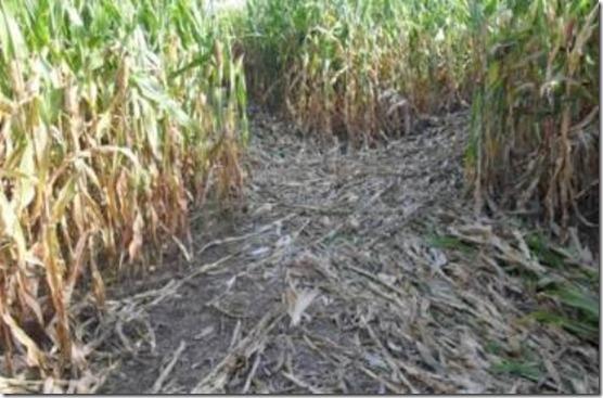 campo-de-milho-argentina