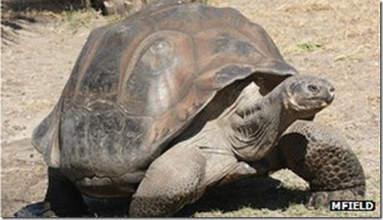 tartaruga-george