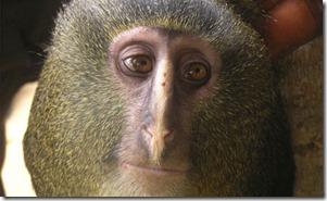 macaco-nova-especie