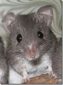rato-regeneracao