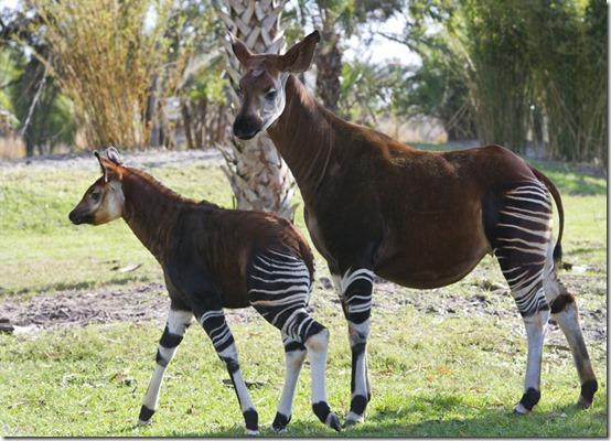 okapi