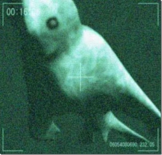 Ningen pollice Ningen, umanoidi Creature marine dell'Antartico