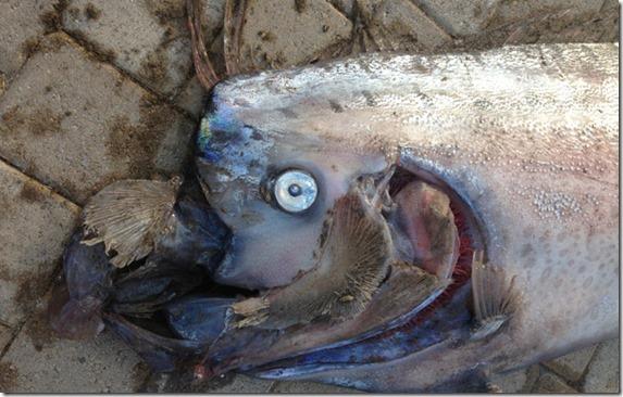 peixe gigante 2 thumb Peixe gigante de 5 metros encontrado na costa da Califórnia