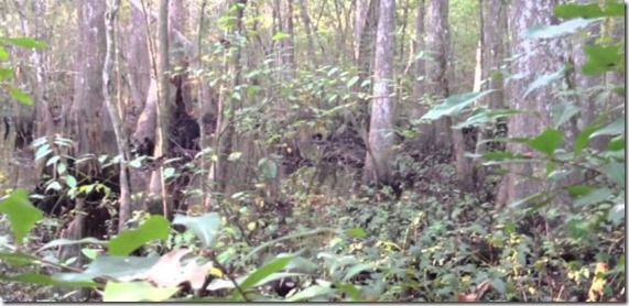 skunk ape thumb Skunk Ape filmado em floresta do Mississippi