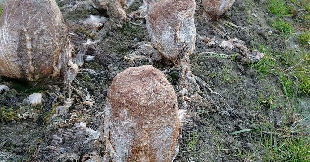 Ovos alienígenas no Japão?